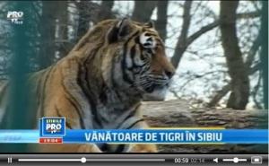 mihai_vasilescu_tigru